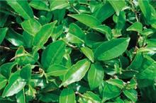 Genitalwarzen gehören zu den häufigsten sexuell übertragbaren Virusinfektionen. Hauptbestandteil des gereinigten Trockenextraktes aus Blättern des Grünen Tees (Camellia sinensis) gegen anogenitale Feigwarzen ist das Epigallo-Catechingallat (EGCg).© Abbott Arzneimittel GmbH