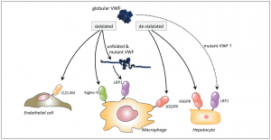 Receptors involved in VWF clearance.