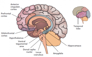 Figure 1: (b) brain regions implicated in both epilepsy and aggression [reprinted with permission from ASPET © 2016].9